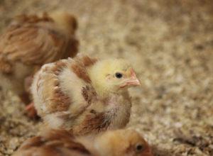 Bjärefågel sätter långsamtväxande kyckling på den svenska kartan