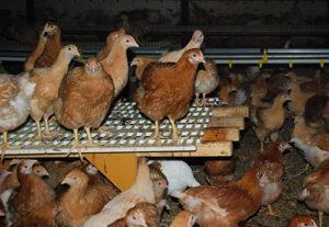 Spännande kycklingbesök för Bjärefågel