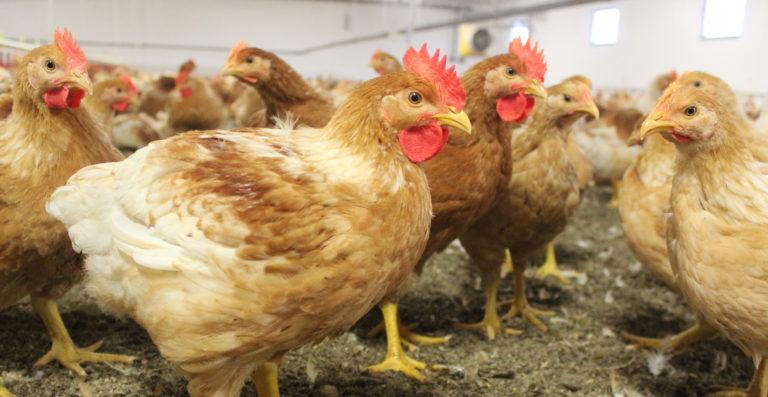 Mycket bättre fothälsa med vår långsamt växande kyckling