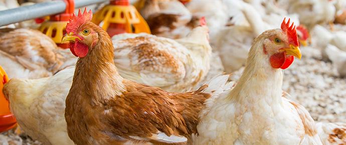 Bjärefågel tar ett steg till mot ökad djurvälfärd genom byte till Ranger Gold